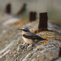 Northern Wheatear at Cemlyn Natire Reserve