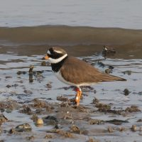 Ringed Plover at Cemlyn Natire Reserve