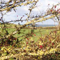 Hawthorn with lichen in community woodland